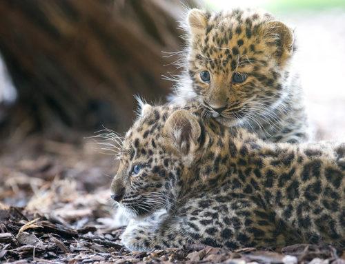 Novi naraštaj amurskog leoparda u Šenbrunu
